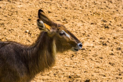 closeup of the face of a ellipsen waterbuck, tropical antelope specie from Africa