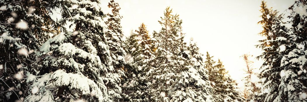 Christmas trees coated of snow