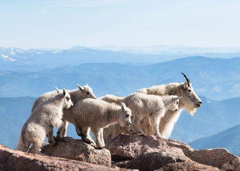 Wild mountain goats in the Rocky Mountains of Colorado.
