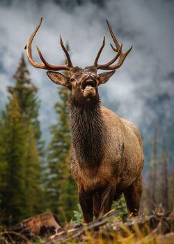 Wildlife of Colorado. Elk Buck rutting in the mountains.