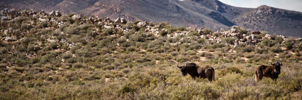 Wildebeest grazing on grassland
