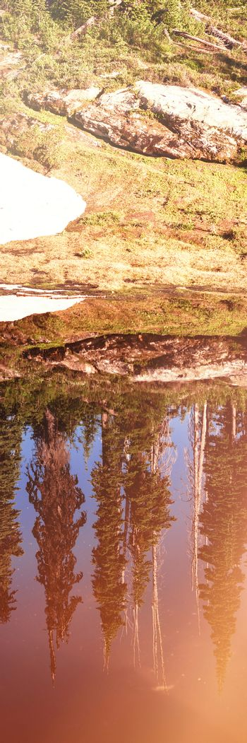 Reflection of coniferous trees