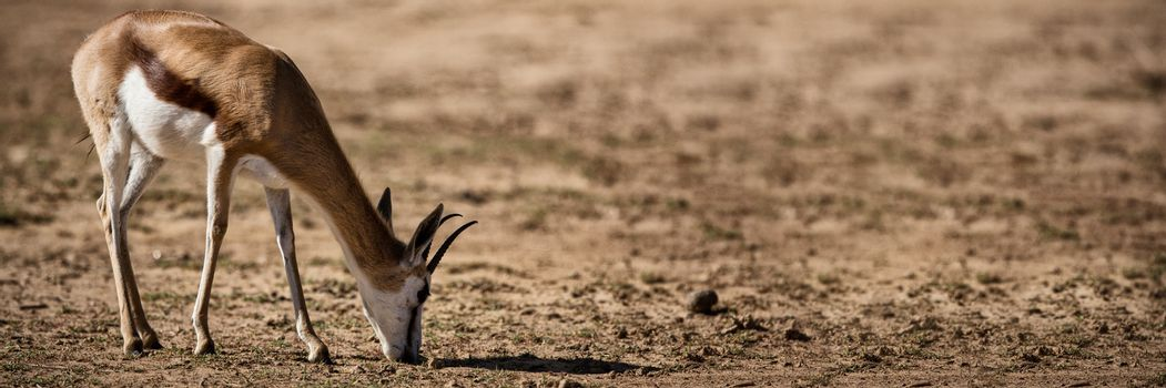 Wild deer grazing on a barren land