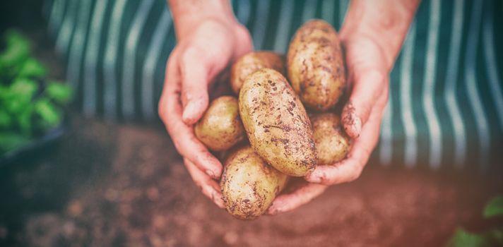 Gardener harvesting potatoes at greenhouse