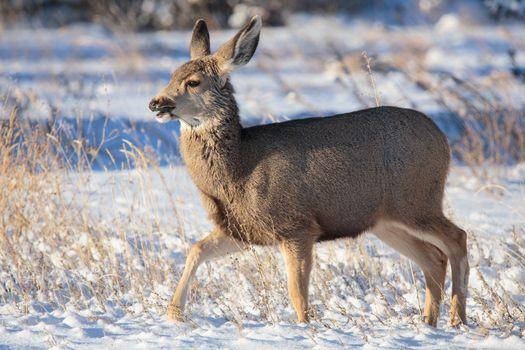 Young Mule Deer Doe browsing for food in a snowy field