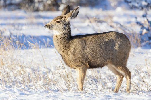Wild Deer on the Colorado Prairie