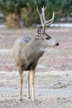 Wildlife of Colorado. Mule Deer Buck. Wild Deer in Their Natural Environment in Colorado.