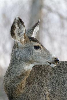 Wildlife of Colorado. Wild Deer in Their Natural Environment in Colorado.