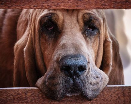 Bloodhound staring through a wood fence.