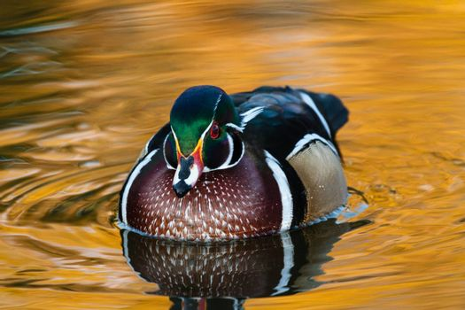 Wildlife of Colorado. Wood duck swimming in water with reflections.