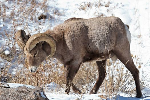 Bighorn Sheep in the Rocky Mountains of Colorado.