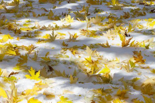 Fallen Maple Leaves - Colorado Rocky Mountain Scenic Beauty