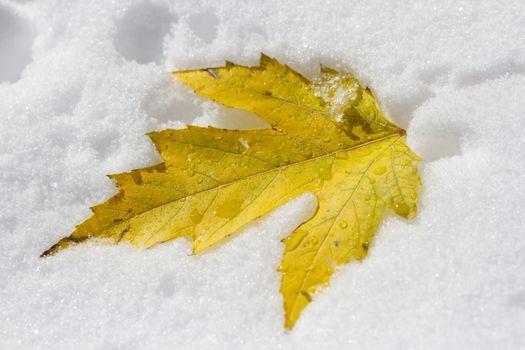 Maple Leaf in Snow - Colorado Rocky Mountain Scenic Beauty