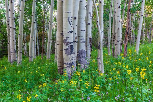 Aspen Trees and Wildflowers in the Colorado Rocky Mountains