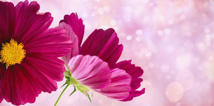 Dark pink cosmos flowers on soft pastel background