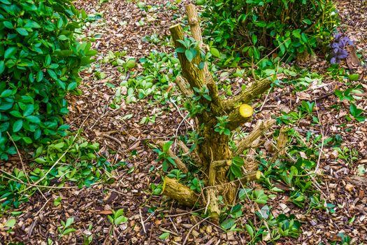 Pruned butterfly bush, plant care, popular ornamental garden plants, tree growing fresh new branches