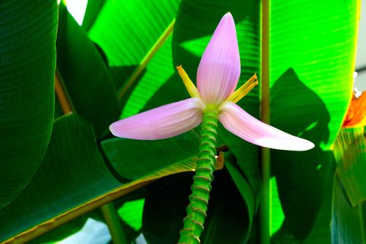 Close-up of tropical banana leaves with pink flower is blooming. Pink Flowering banana with green blur background.