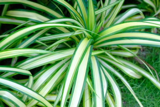 Closeup of Beautiful Pandanus Screw Pine plant tree in garden background, yellow and green striped tropical plant.