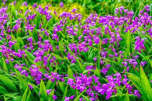 Purple flowers closeup on green garden background on a sunny day with a beautiful selective focus and bokeh effect
