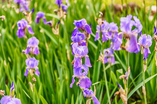 Violet iris flowers closeup on green garden background on a sunny day with a beautiful selective focus and bokeh effect