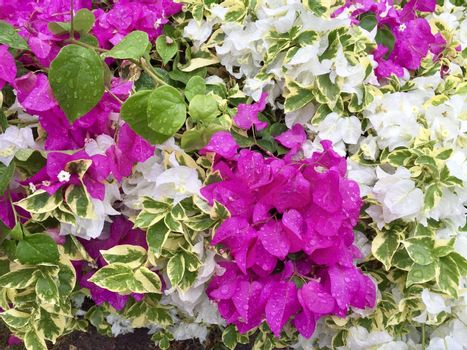 Blooming purple and white bougainvillea flowers with raindrops. Beautiful colorful bougainvilleas floral background. Selective focus closeup.