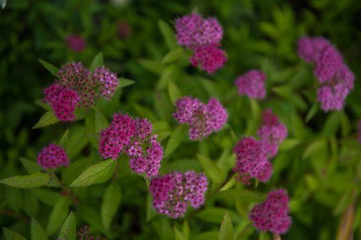Blooming Willow-herb meadow. Chamerion Angustifolium, Fireweed, Rosebay Willowherb