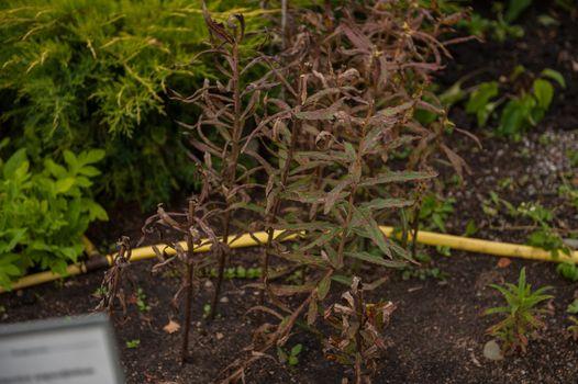 Ripe Willow-herb meadow. Chamerion Angustifolium, Fireweed, Rosebay Willowherb