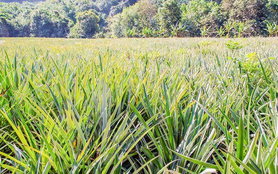 Pineapple plantation on the tropical island of Moorea, French Polynesia
