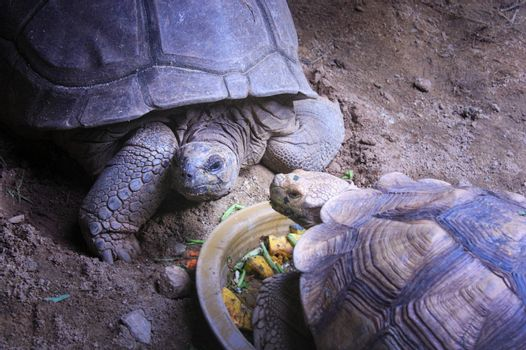 Raising turtles on the farm