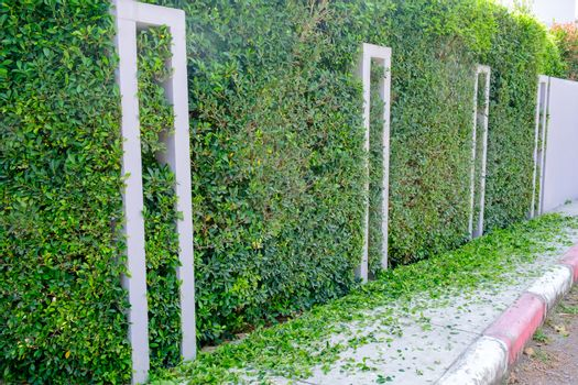 Green trimmed bush close up. Landscape trimming design. Pruning garden, hedge. Home and garden concept.