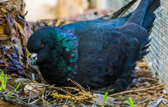closeup of a black king pigeon sitting in its nest with eggs, popular tropical bird specie