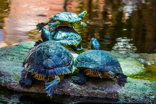 closeup of a cumberland slider turtle couple from the back at the water side together, tropical reptile specie from America
