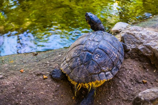 beautiful portrait of a yellow bellied cumberland slider turtle from the back, tropical reptile specie from America