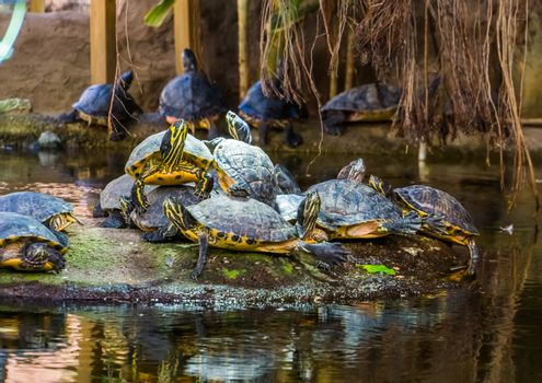 yellow bellied cumberland slider turtle nest on a rock in the water, tropical reptile specie from America