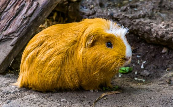 beautiful closeup portrait of a domestic guinea pig, popular rodent specie from America
