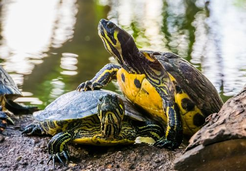 closeup of a cumberland slider turtle climbing on the other, typical animal behavior, terrapin basking