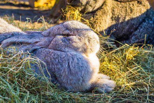 closeup of a grey european rabbit, popular domesticated bunny specie