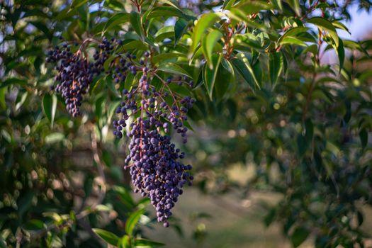 Poison berries Privet