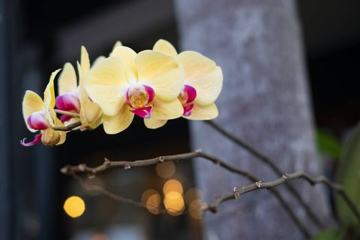 Yellow Phalaenopsis orchid. Beautiful orchid flowers closeup natural backgound. Selective focus closeup.