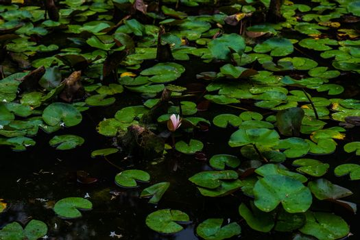 Water lily's bud