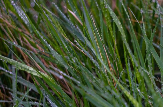 Green blades with dew