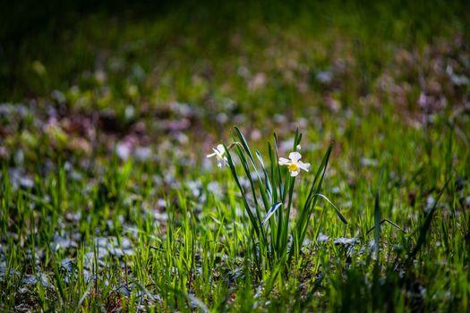 The bud of daffodils flower