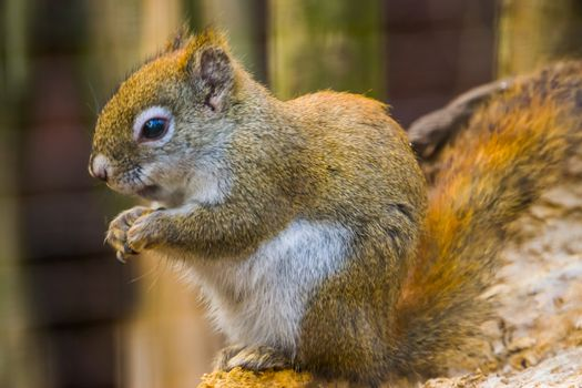 cute closeup portrait of a red american squirrel, popular tropical rodent specie from America
