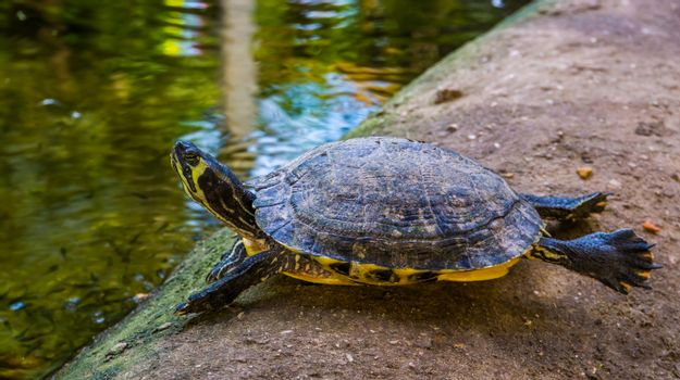 funny cumberland slider turtle swimming on dry land, tropical reptile specie from America