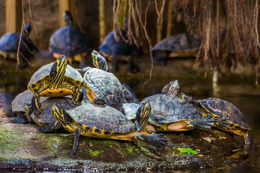 nest of yellow bellied cumberland slider turtles together on a rock in the water, tropical reptile specie from America