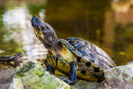yellow bellied cumberland slider turtle with its face and upper body in closeup, tropical reptile specie from America
