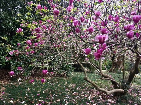 Close up of Bloomy magnolia tree with big pink flowers. Springtime at the park.
