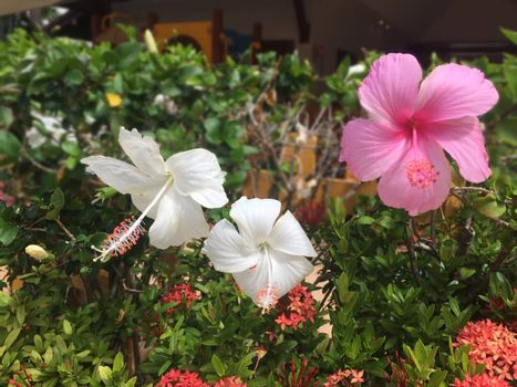 Beautiful pink and white Hibiscus flowers in summer park on Sunny day. Select Focus