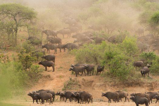 Cape buffalo herd