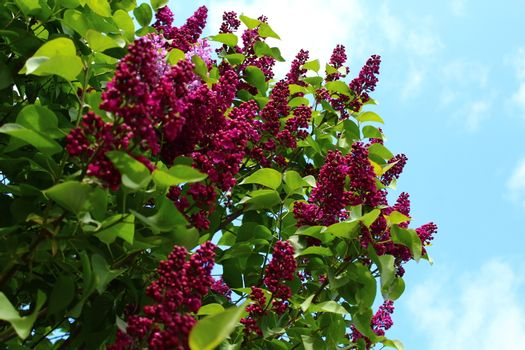 The picture shows beautiful lilac in the garden